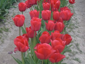 Tulip Festival in Mount Vernon
