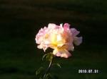 Our Garden Rose