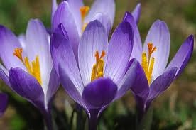 crocus by